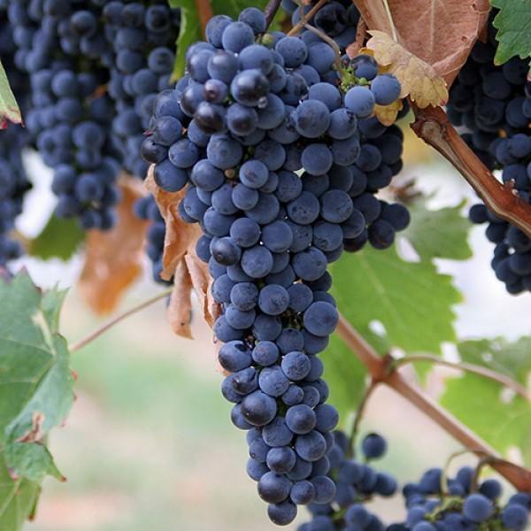 Crna Tamjanika stare sorte vinova loza