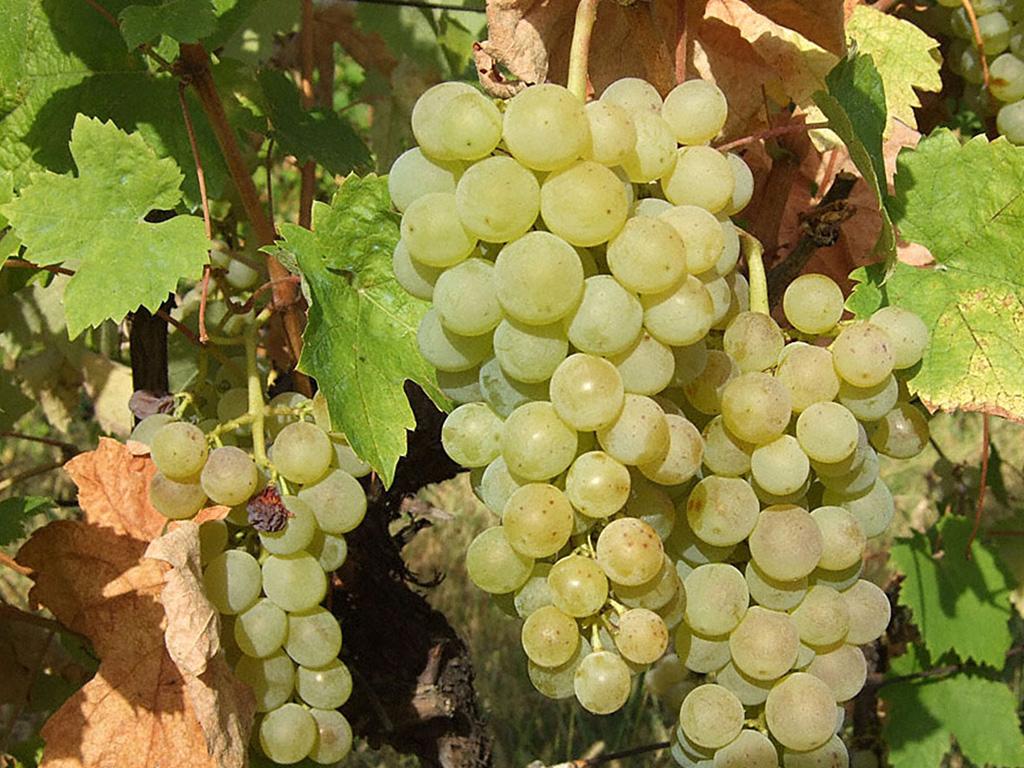 Cene sadnica vinove loze Smederevka
