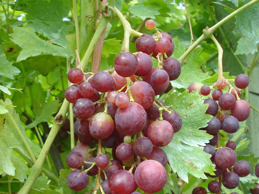 lozni kalem sadnice vinova loza Kardinal