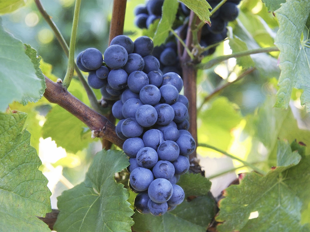 Prodaja loznih kalema vinove loze Burgundac