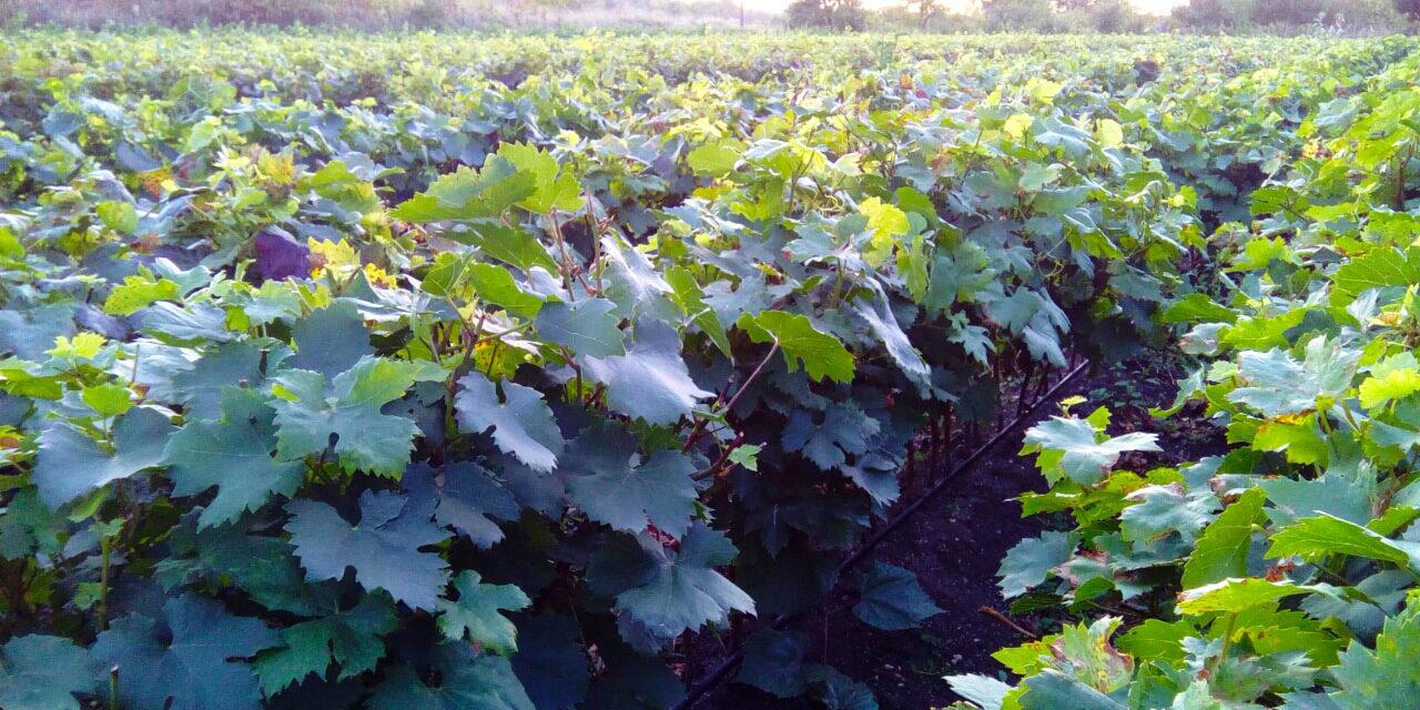 lozni kalemovi jesenja zastita vinova loza