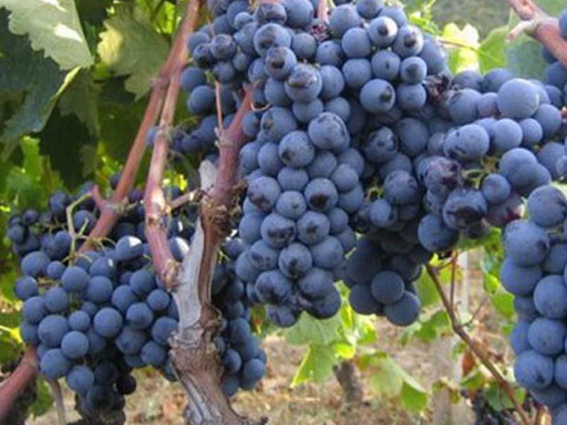 Vinova loza - Lozni kalemovi Rubel