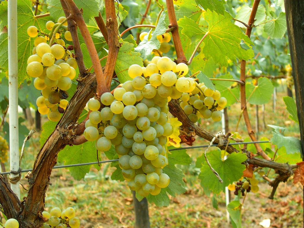 Vinske sorte kalemova