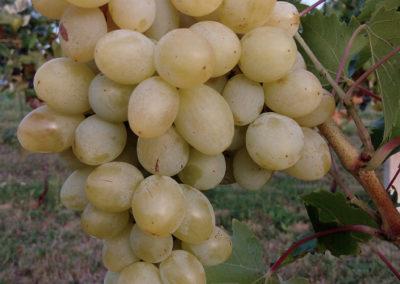 prodaja vinove loze Lasta