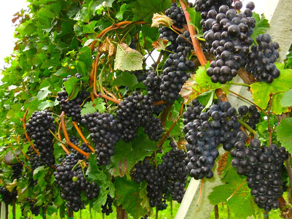Prodaja sadnica vinove loze Frankovka