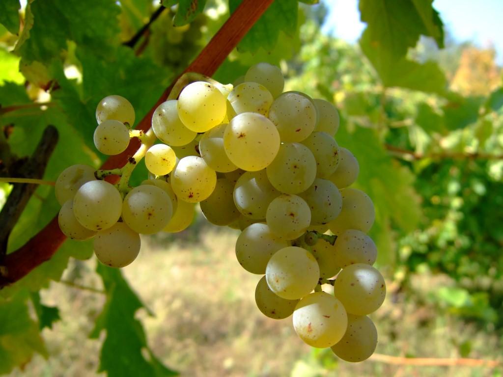 Sadnice vinove loze Italijanski rizling