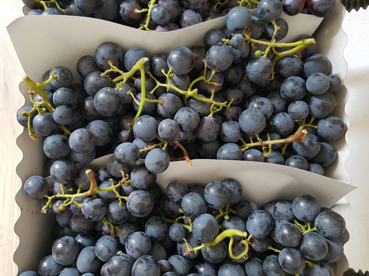 sadnice vinove loze stona sorta Ribier