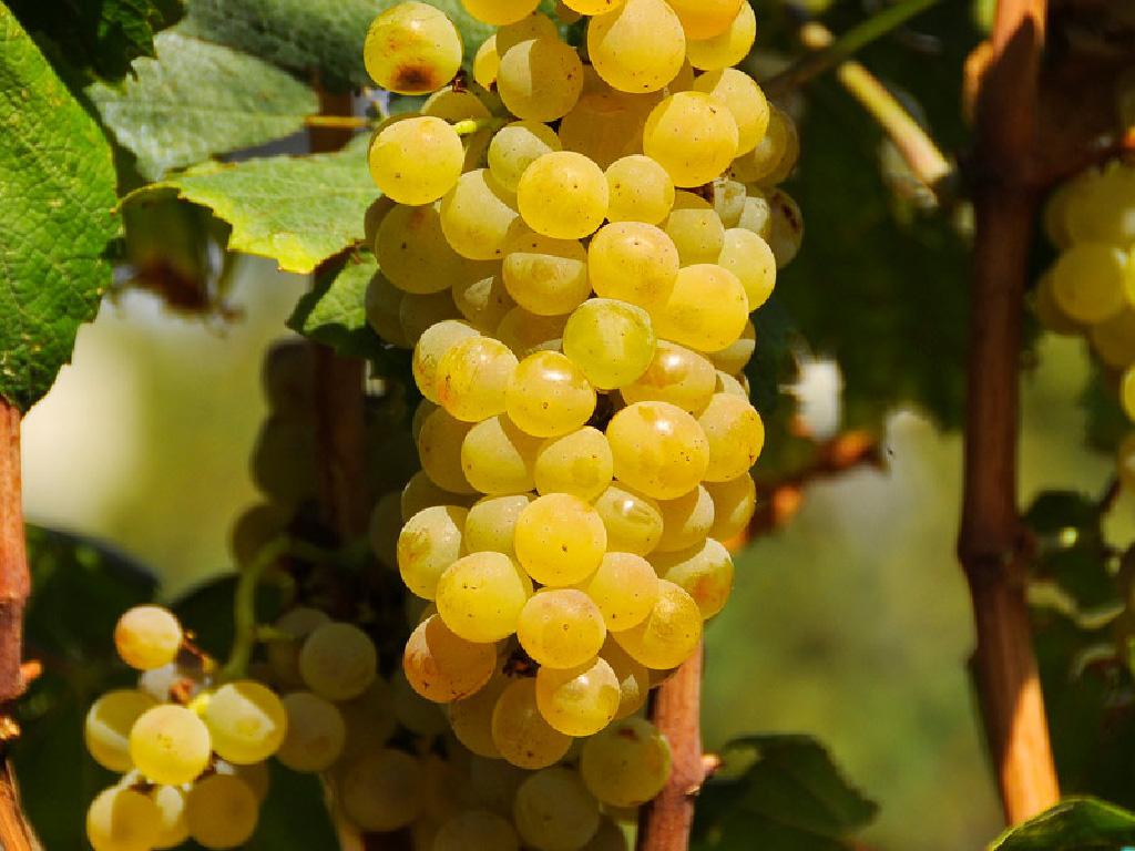 Vinske sorte kalemova Tamjanika cene i prodaja