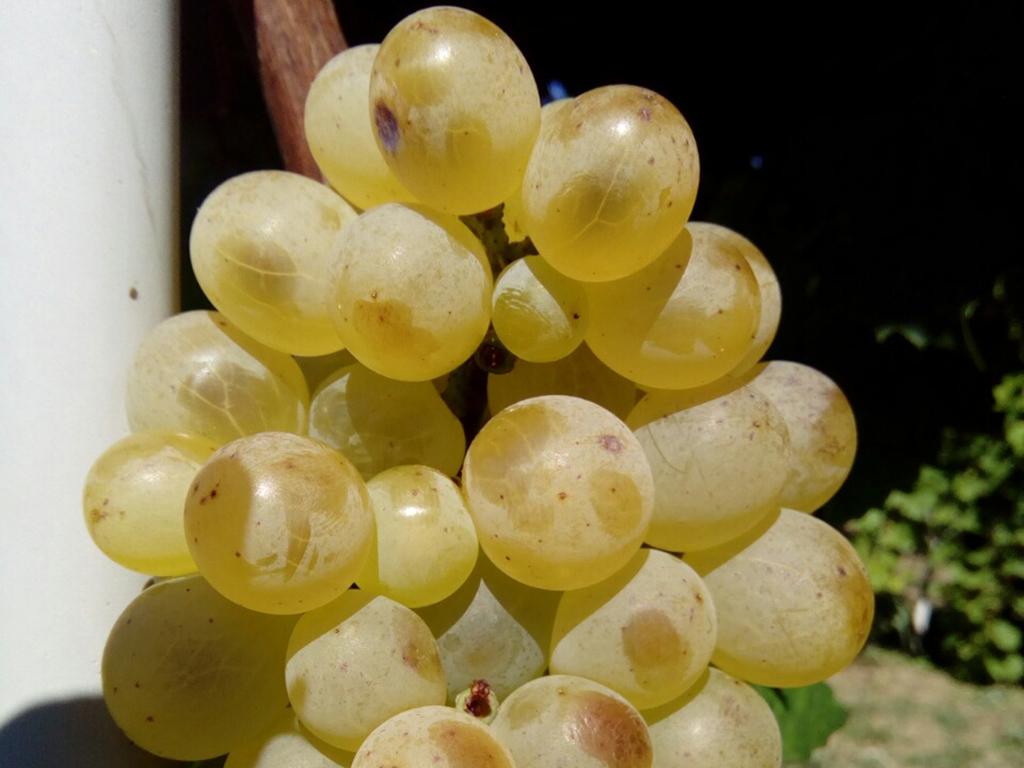 Stone sorte vinove loze Lasta