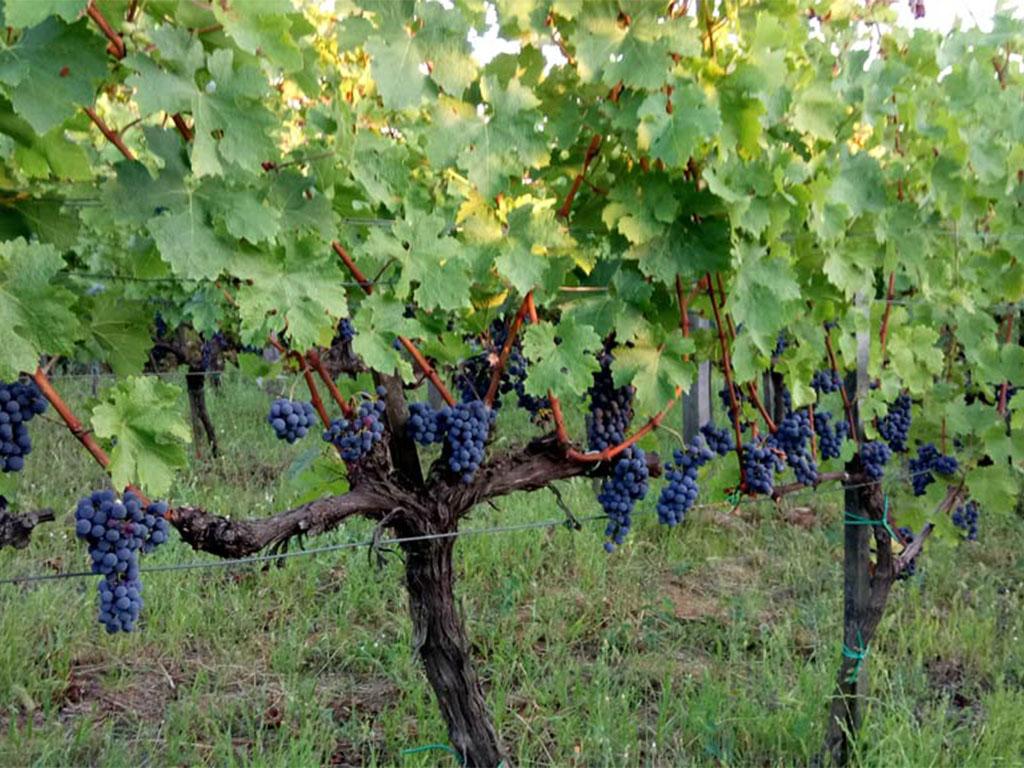 Vinske sorte Sadnice vinove loze Prokupac