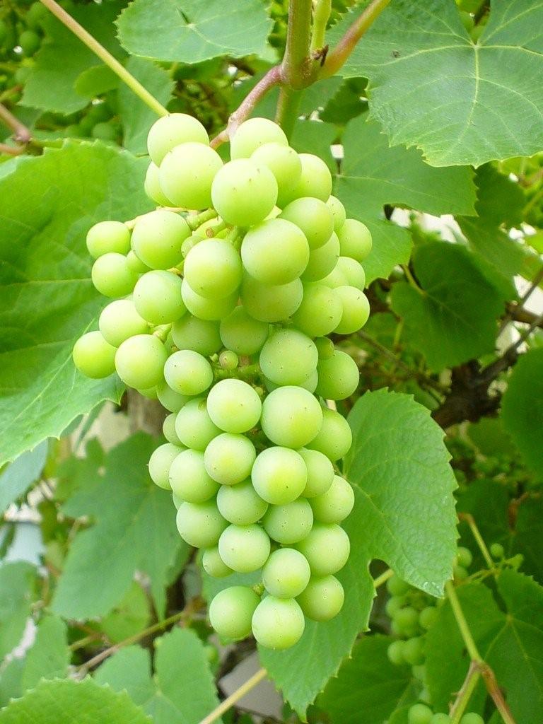 Zelenika vinova loza